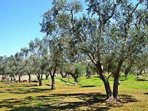 Olivi in affitto