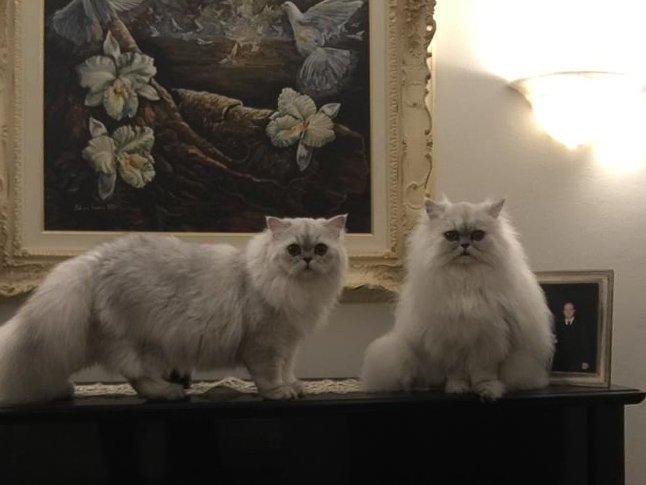 Allevamento Amatoriale Gatti, Gatti Persiani Chinchilla, Silver Shaded, Gatto di Pallas, Gatto a pelo lungo, Cuccioli Gatto Persiano