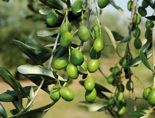 Olivicoltura, la Regione attiva 3,75 milioni di risorse europee